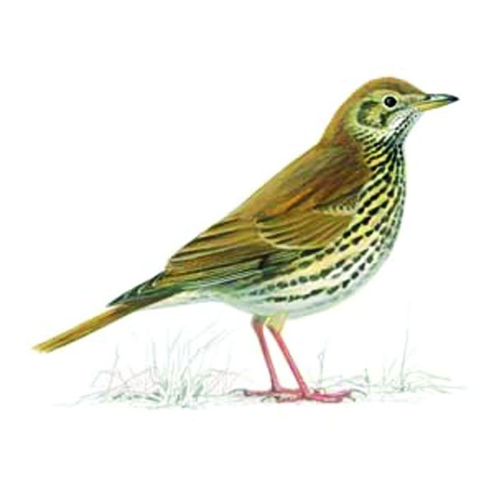 A Songthrush