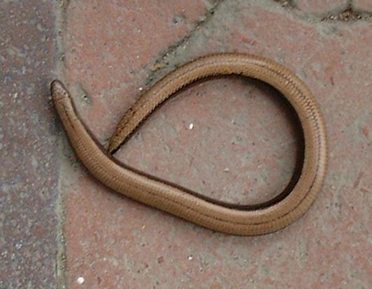 Snakes alive! Slow worm spotted on the garden path of 16, St Pauls Road, on Monday of this week