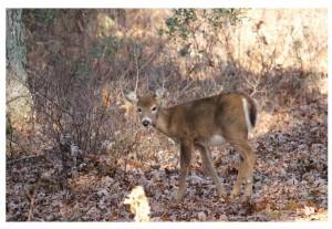 Diane's Deer