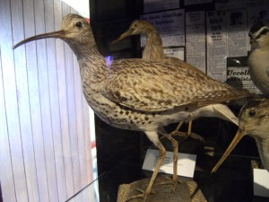 A Slender-billed Curlew – on view at Hastings Museum