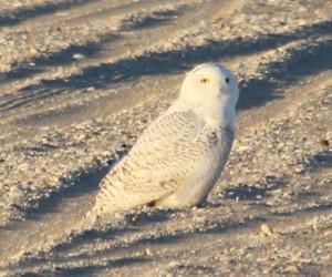 Snowy Owl, Long Island, New York, Dec 2013.