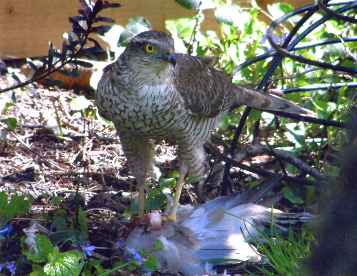 Sparrowhawk in St Helen's Road garden